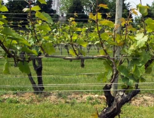 Obavijest vinogradarima – suzbijanje ličinki američkog cvrčka!