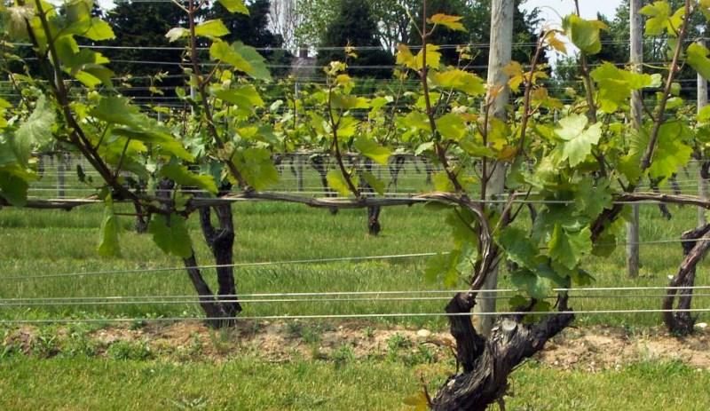 Obavijest vinogradarima !